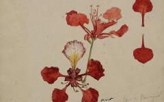 Auguste Morisot, Flor de Acacia, Ciudad Bolívar (1886). Acuarela y grafito sobre papel