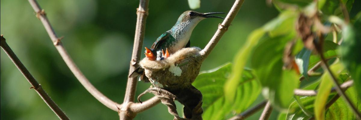 Hummingbird Babies In The Nest. Hotel Mockingbird Hill. Foto: hotelmockingbirdhill.com